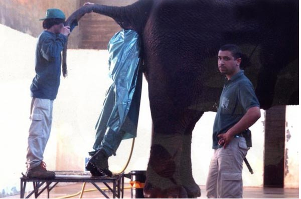 man enters elephant rectum
